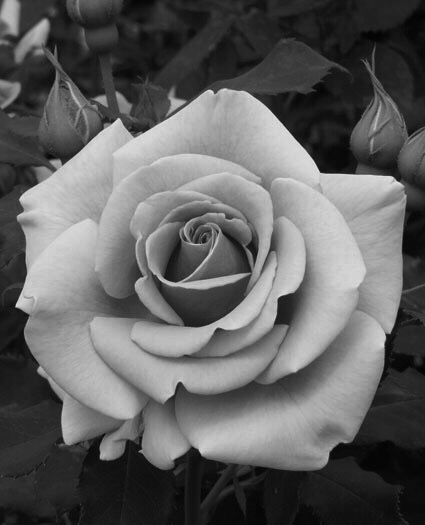 Gray Scale picture of a Rose
